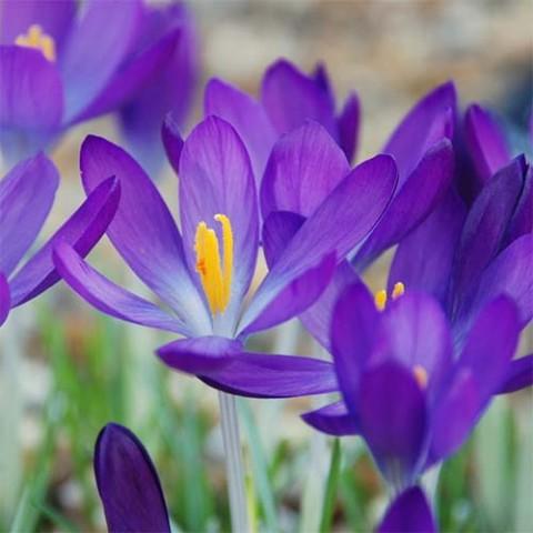 Крокус Whitewell Purple 100 шт/уп фото