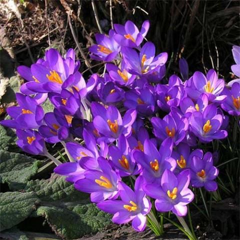 Крокус Whitewell Purple фото