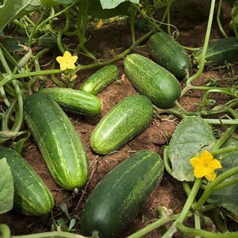 Огірок Ніжинський фото