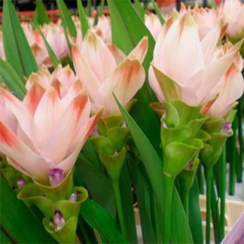 Куркума Silk фото