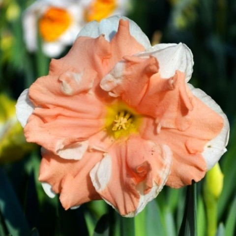 Нарцис Apricot Whirl фото