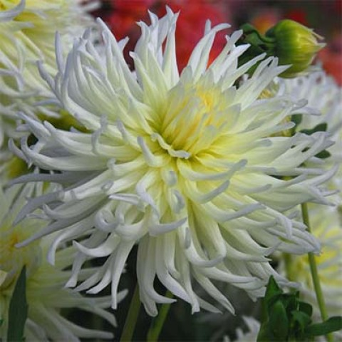 Жоржина White Star фото