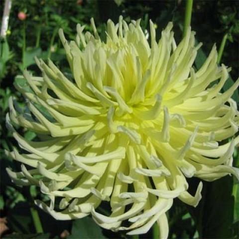 Жоржина Yellow Star фото