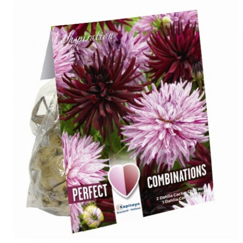 Жоржина кактусова Black and Pink Shades (Брендові цибулини KAPITEYN®) фото