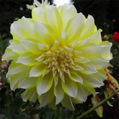 Жоржина Hollyhiill Lemon Ice фото