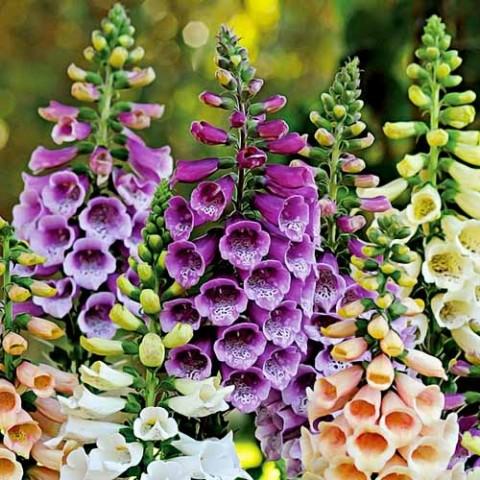 Дигіталіс Dalmatian Purple фото