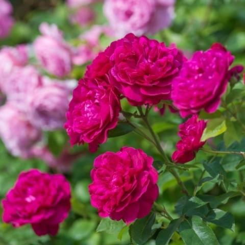 Троянда Darcey Bussell фото