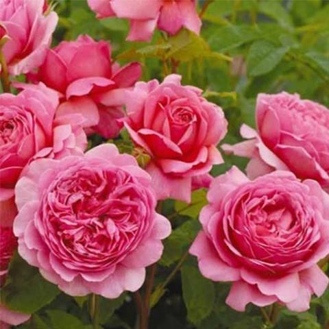 Троянда Alexandra of Kent фото