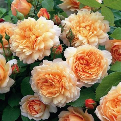 Троянда Grace фото