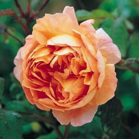 Троянда Lady Emma Hamilton фото