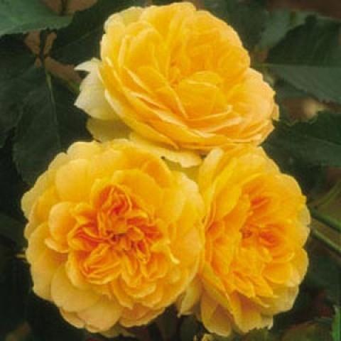 Троянда Molineux фото