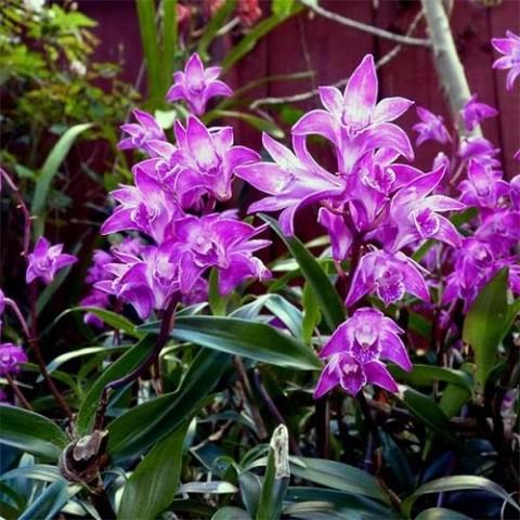 Дендробіум Кінга (Kingianum) фото
