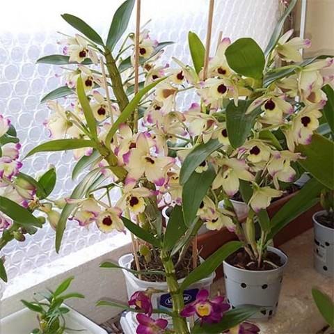 Дендробіум благородний (Dendrobium nobile) фото