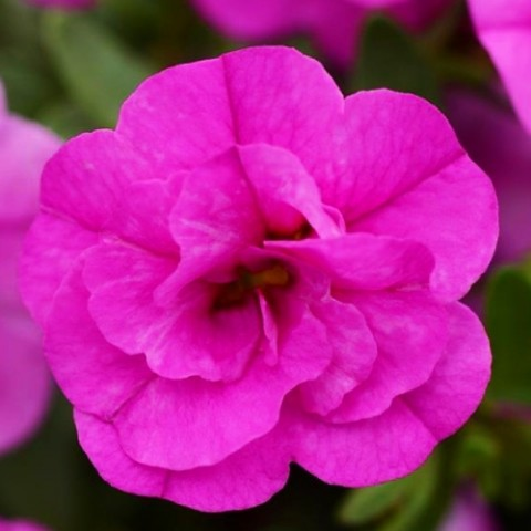 Калібрахоа MF Double Pink фото