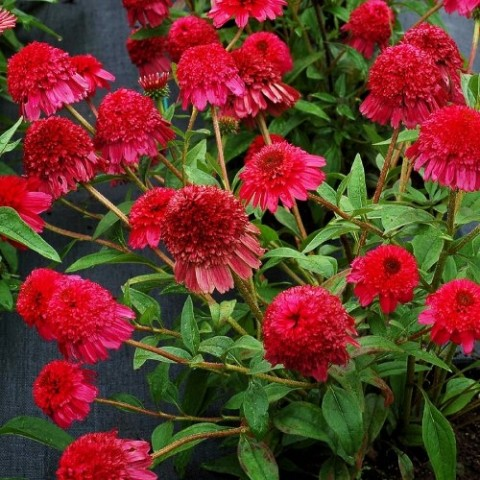Ехінацея Paso Doble Fuchsia фото
