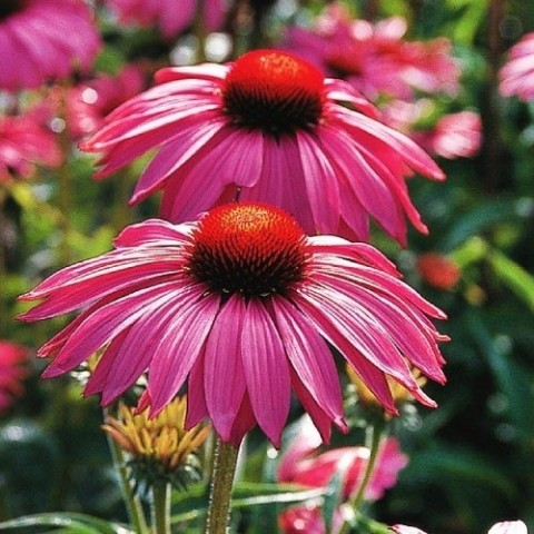 Ехінацея Bright Rose фото