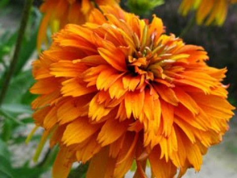 Ехінацея Marmalade фото