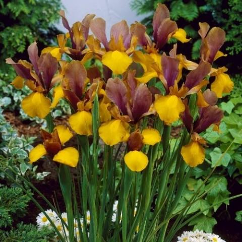 Ірис Hollandica Purple-Bronze-Yellow фото