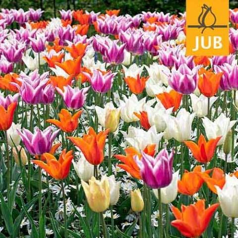 Мікс ландшафтний Elegant Lilies (Брендові цибулини Jub Holland) фото