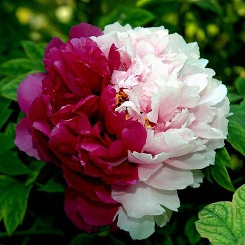 Півонія Twin Beauty Er Qiao деревовидна фото