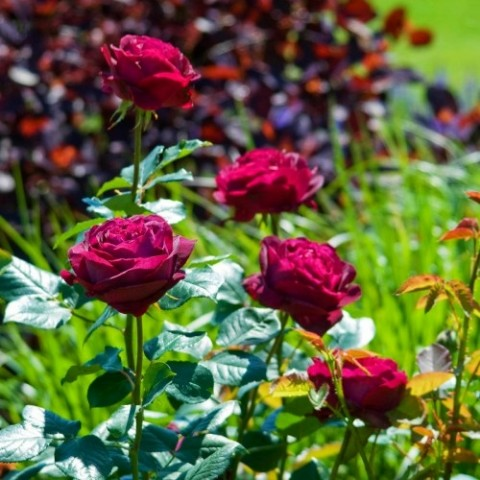 Троянда Falstaff (плетиста) фото