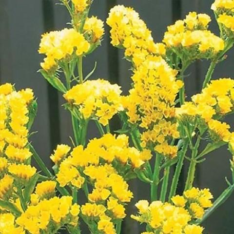Кермек Золотий Пісок жовтий фото