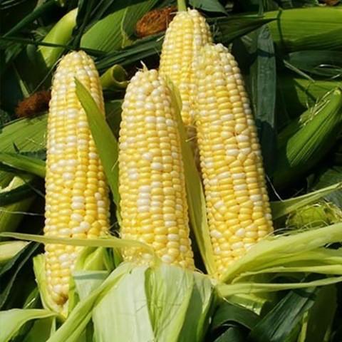 Кукурудза Брусниця фото