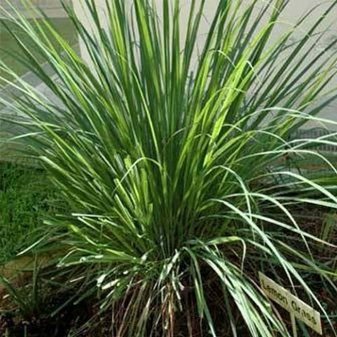 Лимонна трава (цимбопогон) фото