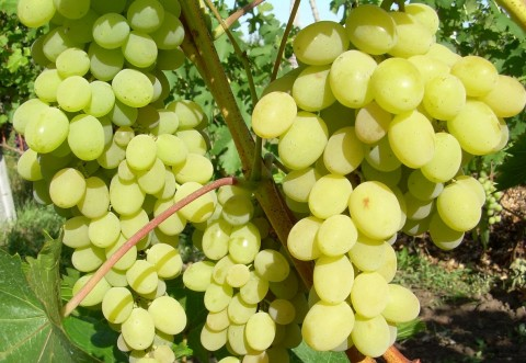 Виноград Августін фото