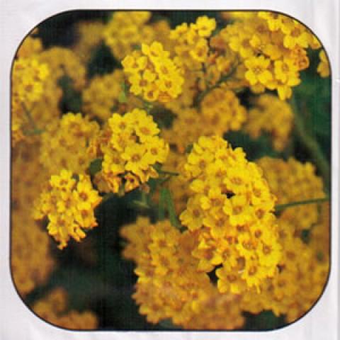 Аліссум Гірське золото фото