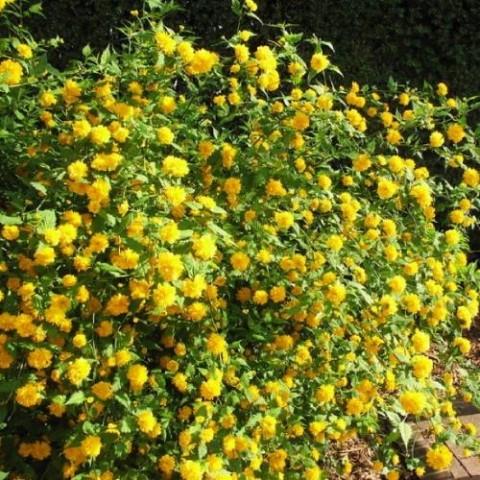 Керія японська Pleniflora фото