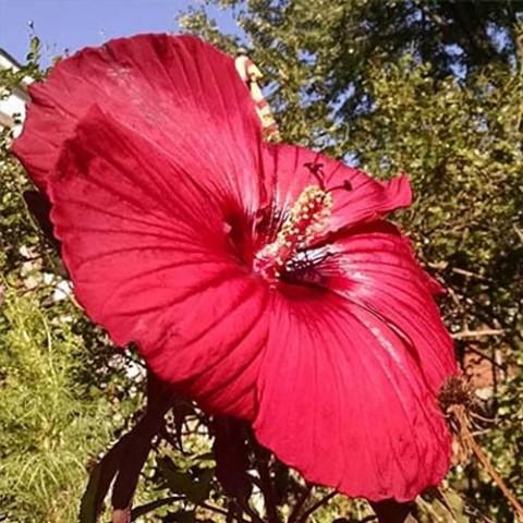 Гібіскус садовий Fireball фото