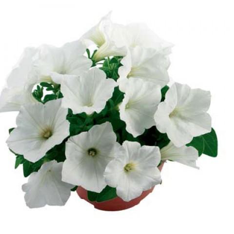 Петунія Fortunia White фото