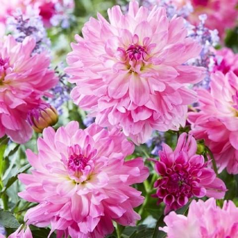Жоржина Garden Sensation фото