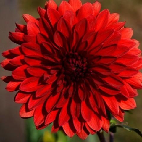 Жоржина Garden Wonder фото