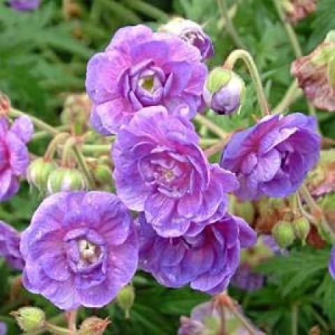 Герань Plenum Violaceum фото