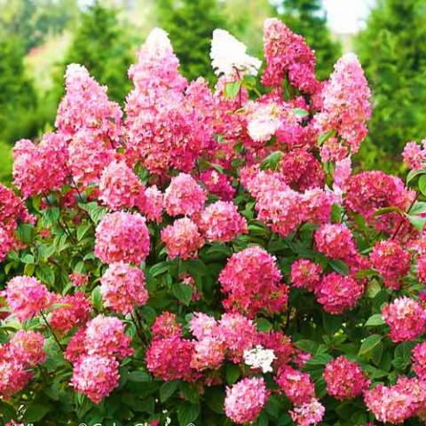 Гортензія Pink Diamond фото