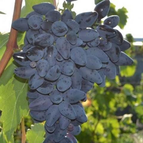 Виноград Вікінг фото