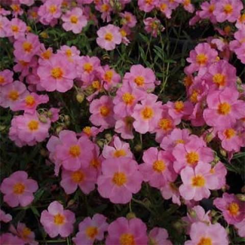 Геліантемум Lawrenson's Pink фото