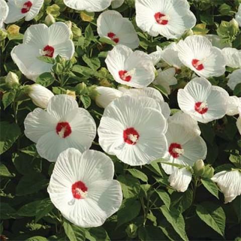 Гібіскус садовий Luna White фото