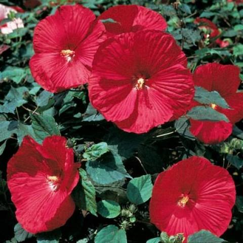 Гібіскус садовий Disco Belle Rosy Red фото