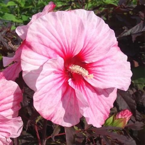 Гібіскус садовий Pink Candy фото