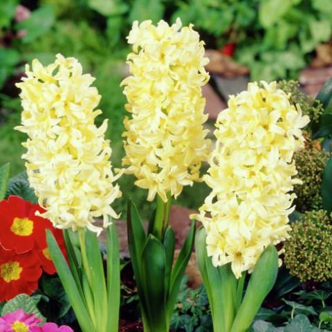 Гіацинт Yellow Queen (горщик 7 см) фото