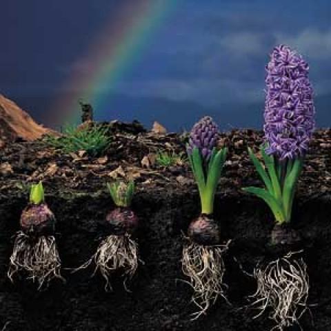 Гіацинт Purple Pride фото