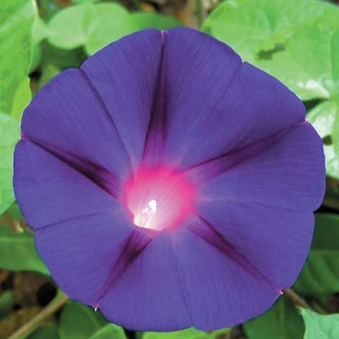 Іпомея Пурпурно-чорна фото