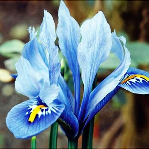 Ірис reticulata Alida фото