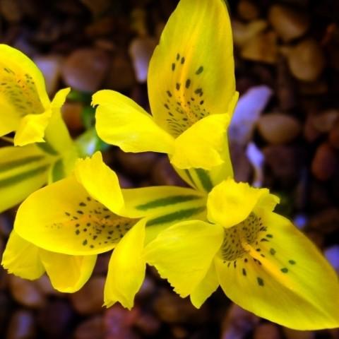 Ірис Danfordiae фото