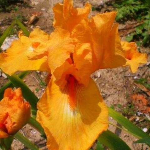 Ірис Glazed Orange фото