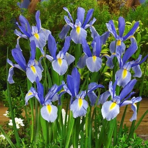 Ірис Hollandica Blue фото