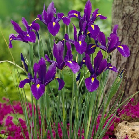 Ірис Hollandica Purple фото